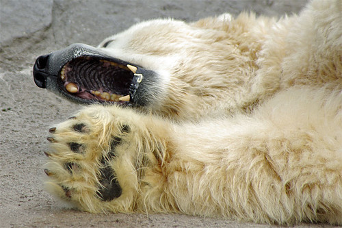 Polar Bear, paw and palate