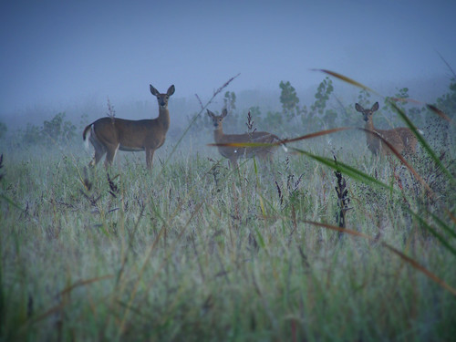 Deer in the mist 2