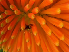 Do not Disturb or i'll give you a Red Hot Poker! (Jus'fi) Tags: fab orange plant flower macro bug wasp inset redhotpoker flickrsbest colorfulworld platinumphoto fifikg jusfi goldstaraward colourmania andnotforgettingsting