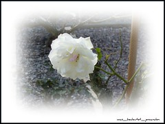 The lone white rose