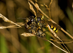 "Female Solitary wasp ( Mellinus arven(1) • <a style=""font-size:0.8em;"" href=""http://www.flickr.com/photos/57024565@N00/2862675411/"" target=""_blank"">View on Flickr</a>"