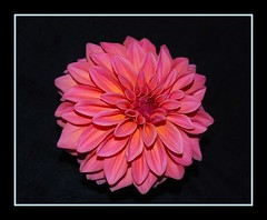 View II (mimicapecod) Tags: pink dahlia flowers flora searchthebest pinkflowers takeabow pinkdahlia justonelook natuure masterphotos diamondclassphotographer flickrdiamond nikond40x awesomepictureaward passionatelypinkforthecure breastcancercure fabulousflora