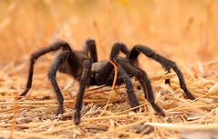 tarantula at round valley (Marc Crumpler (Ilikethenight)) Tags: california canon hiking spiders trails tarantula bayarea eastbay ebrpd roundvalley contracostacounty eastbayregionalparkdistrict interestingness92 i500 tamron1750 sfchronicle96hours 40d ebparks canon40d explore02oct08