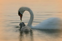(WithUibelong) Tags: pink nature grass swan dusk young cygnet eat silverlake belmar share muteswan birdwatcher potofgold juvenille goldwildlife withuibelong natureselegantshots goldenmasterpiece
