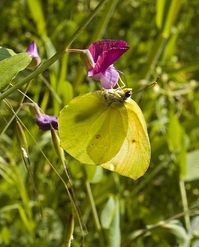 butterfly on wild mallow