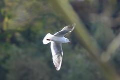 Bird in flight (YorkieBen) Tags: gull clumberpark