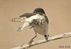 (N-S-S) Tags: bird birds best 300mm 28 kuwait  nasser 800mm d300 nss   vwc    d2xs  mywinners    kvwc   alsolihem  slbfeeding