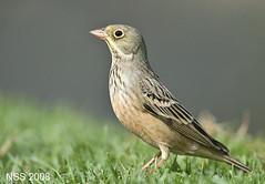 Ortolan Bunting -   (N-S-S) Tags: bird birds nikon sigma best 300mm 28 nikkor  nasser 800mm d300  nss    vwc    d2xs    kvwc    alsolihem