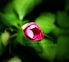 الـوَرْد مَعْنـى للمَحَبـْه  السّمِـيـه .. يا مَنْ هَداني الوَرْد بَسْألك  تـَعـْـنيـه؟؟ (eL reEem eL sro0o7e ♥) Tags: flower rose f10 tiny bader justonelook beautysecret rosenroses dreamwithme michelangelosbox elreeem elsrooo7e