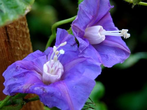 30-1 lavender dai