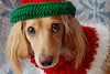 Holiday Honey (Doxieone) Tags: christmas red dog holiday green english hat sweater interestingness long crochet cream dachshund explore honey final blonde getty 12 haired mostpopular coll ggg 2do 1002 theset final1 imade honeydog topfavorite explored abigfave englishcream anawesomeshot impressedbeauty xmas2008 damniwishidtakenthat ayearofholidays 31033120308 15916120108 40938120808 12daysofhoneyset2008
