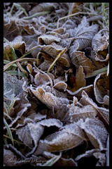frosty leaves (eleda 1) Tags: winter white cold frost frostyleaves