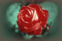 Coeur vert pour Rose Rouge MG_2034 (photostudio63 photographe clermont ferrand) Tags: flowers france fleur rose horizontal rouge explore portfolio auvergne flors retouche cs3 photostudio63 photographeclermont63fr photostudio63fr photographeclermontferrand photographeclermont63com photostudiocom thierrytavares