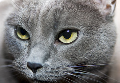 Close up of Z's face (dooley) Tags: blue cat grey kitten feline gray kitty whiskers meow z housecat korat felisdomesticus catty