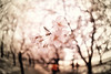 Last dance (y2-hiro) Tags: pink flowers trees light cherry spring nikon blossoms shade 15mm 2011 d3s