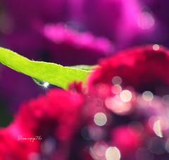 Sparkling (bloempje76) Tags: flowers colours dof bokeh blad waterdrops bloemen druppel kleuren glinstering bloempje76