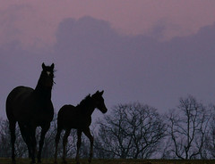 Springtime Nursery - early morning (joiseyshowaa) Tags: new pink trees sky horse silhouette clouds rural sunrise neck dawn newjersey twilight dusk farm nursery nj resort pony pasture shore jersey monmouth colts monmouthcounty jerseyshore colt holmdel equine equus coltsneck joiseyshowaa joiseyshowa