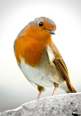 A robin is following me ([Kantor]) Tags: ireland bird robin canon erithacusrubecula glendalough wicklow irlanda pjaro petirrojo kantor 400d