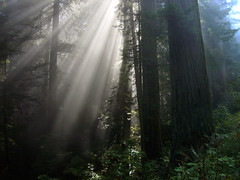 Through the Trees (a.ringman) Tags: california wood trees light sun mist fog forest coast shine pacific hike crest coastal redwood redwoods rays through shining pacificcrest