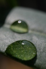 Water Drops on Lychee Leaf (Tony Lea) Tags: b 2 6 3 plant macro green wet water up k closeup canon t rebel 1 j leaf close y o d 5 g c w 4 n 7 8 9 s drop x tony m h v f r e u lea anthony l p z q lychee otw aplusphoto incrediblenature waterdropsmacros tonylea thisimagemaynotbeusedinanywaywithoutpriorpermissionallrightsreserved2009 anthonylea mygearandme