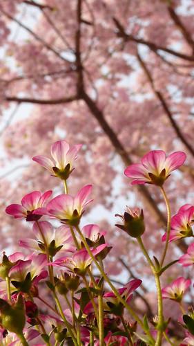 Tokyo Sakura 06
