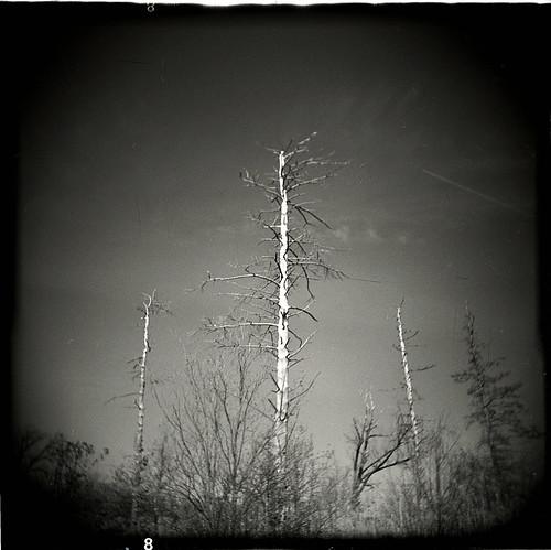 holga_tree