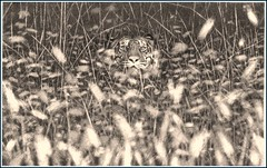 'Tiger in the Grass' Fine Art Pencil Drawings  www.drawntonature.co.uk (kjhayler) Tags: pictures portrait art pencil portraits print landscape image drawing wildlife tiger picture drawings images naturalhistory bigcat jungle tigers prints wildcat tigerprint bigcats tigress sumatran animalart wildcats wildanimals animalprints eyeofthetiger bengaltiger wildlifeimages drawingpictures animalpictures wildlifeart animalscats tigereyes wildlifephotography wildlifephotos bengaltigers animalphotos animaldrawings wildlifeartists naturepictures tigerprints tigerportrait wildlifeportraits wildpictures phototiger animalspictures wildlifetiger picturescats tigerphoto tigerdrawing openedition tigerart tigerphotos wildlifeartist wildlifedrawings drawingphotographs kevinhayler animalstigers wildlifetigers tigerpictures tigerspictures tigerimage tigerimages photostigers picturestigers portraittiger careforthewild imagestiger picturetiger imagetiger tigerportraits bigcatpictures