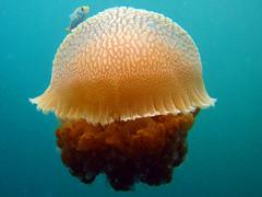 Nice Jellyfish?