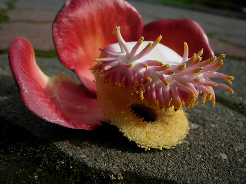 couroupita guianensis or  cannon ball tree.