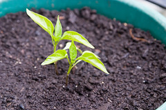 pepper seedlings in the garden