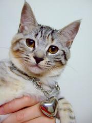 Kaka with charm (Chrischang) Tags: pet animal cat charm kaka 貓 20080503