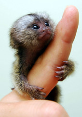 Baby marmoset (floridapfe) Tags: park baby cute animal mammal zoo monkey small jewelry korea theme southkorea soe everland  unintended naturesfinest supershot monkeyvalley golddragon anawesomeshot aplusphoto diamondclassphotographer theunforgettablepictures babymaomoset