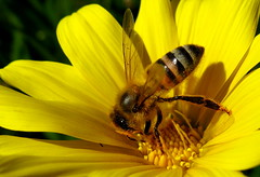 Bee on yellow gazania. (JannK) Tags: flower bee loveit gazania southerncalifornia ctr blueribbonwinner platinumphoto aplusphoto ilovemypics qualitypixels beautifulsecrets