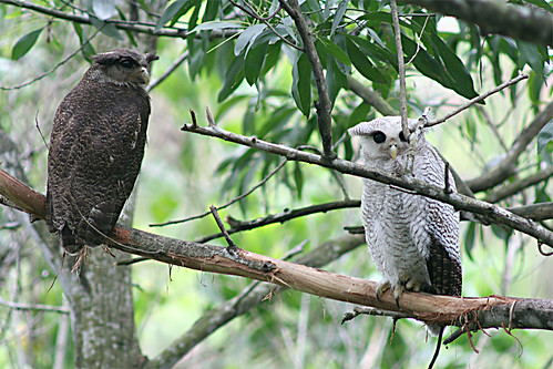 Burung Hantu Jalur @  Barred Eagle Owl with Juvenile