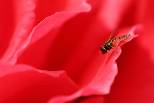 Hoverfly (Toxomerus marginatus) male