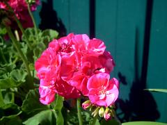 Gerani 3 (Birnardo) Tags: italia fiori lazio nettuno gerani digitalcameraclub salveanatureza birnardo bomboetosky