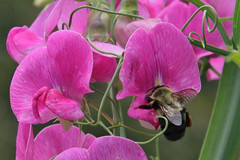 bumblebee on pink pea flowers