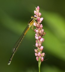 Forktail and Friend