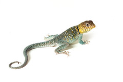 Collared Lizard (Megan Lorenz) Tags: pets closeup studio colorful looking bright reptile watching lizard whitebackground getty curious staring isolated alert gettyimage collaredlizard platinumphoto meganlorenz vosplusbellesphotos iculizard mlorenzphotography