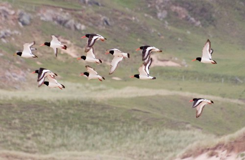 Oyster catchers (1)