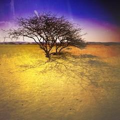 The Roots - Color Version (Khaled A.K) Tags: shadow tree sand desert sa jeddah saudiarabia khaled ksa davincitouch kashkari goldenvisions