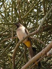Common Bulbul at Olduvai Gorge P1030032 (grebberg) Tags: bird tanzania gorge 2007 bulbul olduvai commonbulbul pycnonotusbarbatus pycnonotus olduvaigorge