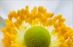 Sunrise (AnyMotion) Tags: flowers plants macro floral frankfurt blumen makro 2008 japaneseanemone naturesfinest herbstanemone anemonejaponica anymotion 25faves mywinners abigfave goldenphotographer theperfectphotographer