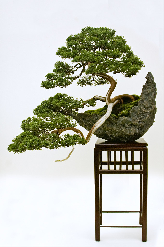 A Chinese Juniper (Juniperus chinensis) trained in the Han-kengai or semi-cascade style.