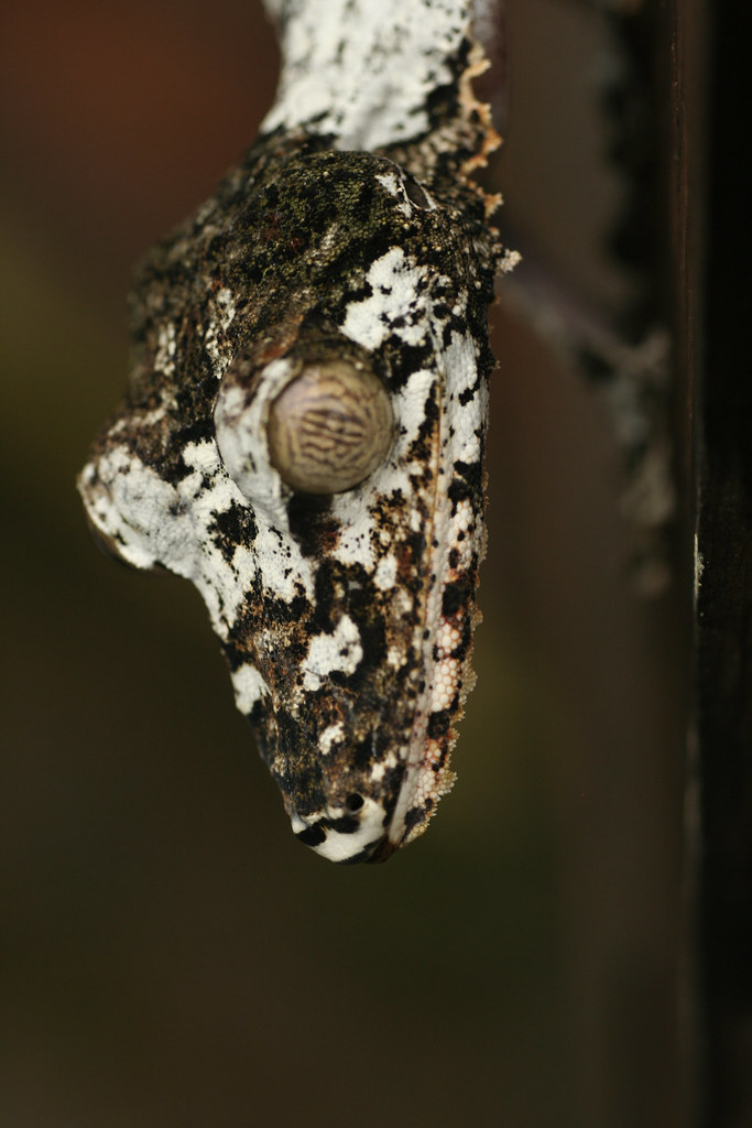 Southern Leaf-tailed Gecko - Exotic Reserve Peyrieras, Madagascar