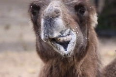 Chewing Camel (Erwyn van der Meer) Tags: animal nose zoo camel chewing artis img0128