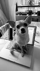 Bad (Angela.) Tags: blackandwhite bw dog chihuahua computer blackwhite lulu laptop explore chi baddog diningroomtable explored macbookpro incamerabw p1000605 lx3 panasoniclumixdmclx3
