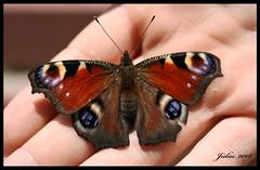 Butterfly Caught (>>Juli) Tags: butterfly romania transylvania jlia clujnapoca magyarorszg erdly kolozsvr lepke