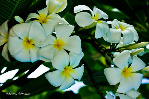 The Meaning of the Plumeria Flower
