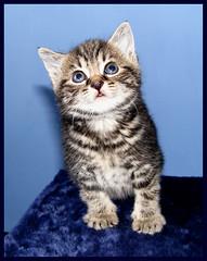 Baby kitten (Julia-D) Tags: pet pets cute cat kitten kat chat gato mao gata neko katze gatto kot   gattina gattino gatta   koneko kotchka cc100 kittenmagazine kissablekat katzchen